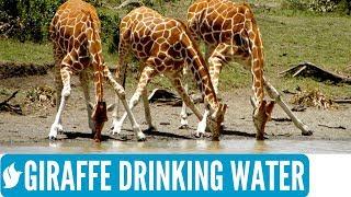 GIRAFFE DRINKING WATER | Amazing wildlife