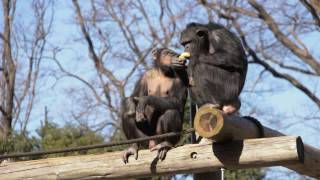 多摩動物公園 チンパンジー 2017年1月撮影 Chimps at Tama Zoological P...