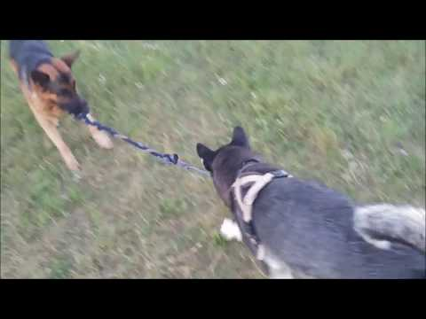 Alaskan Malamute and German Shepherd discover tug-of-war game