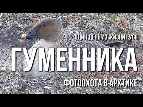 Один день из жизни гуся гуменника, фотоохота в Арктике
