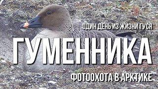 видео Гусь-гуменник