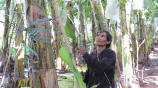 Contract Farming brings positive and negative impacts to Laos (EN)
