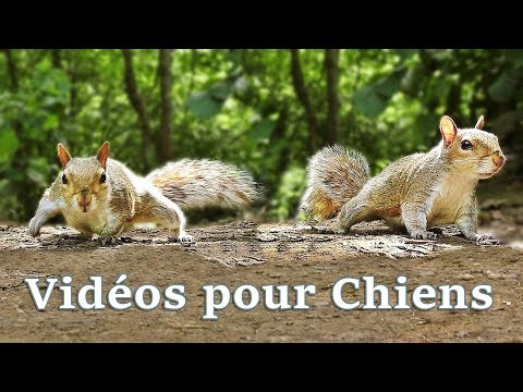 Vidos pour Chiens : Videos for Dogs to Watch Squirrels