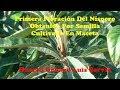 02 Primera Floración Del Níspero Obtenido Por Semilla Cultivado En Maceta Huerto Urbano Luis Servia