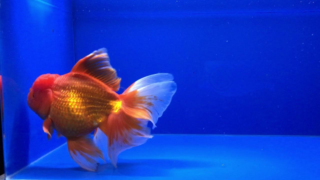 Thai Oranda Live Fancy Goldfish Full Red Jumbo Size 8 5'' 00139