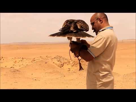 Releasing Eastern Imperial eagleتحرير العقاب الملكي