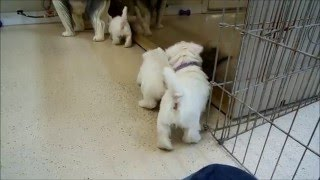 This Video Previously Contained A Copyrighted Audio Track. Due To A Claim By A Copyright Holder, The Audio Track Has Been Muted.     Westie Pups Playing