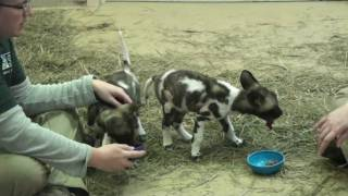 African Wild Dog Pups At Feeding.mp4
