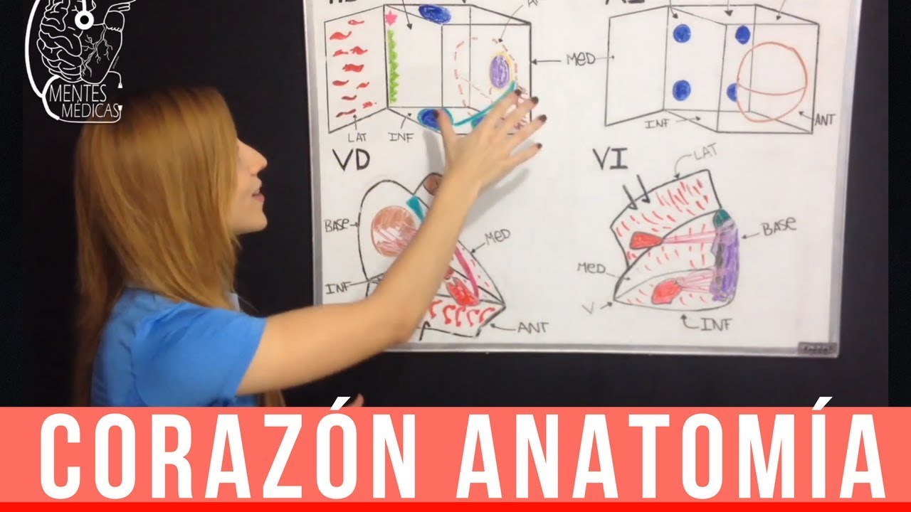 CORAZÓN ANATOMÍA:CONFIGURACIÓN INTERNA (aurículas derecha e ...