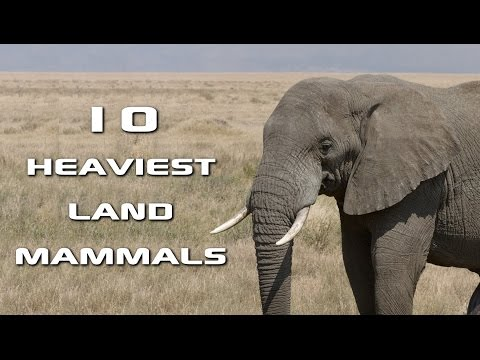 Top 10 Heaviest Land Mammals on Earth: Creature Countdown - FreeSchool