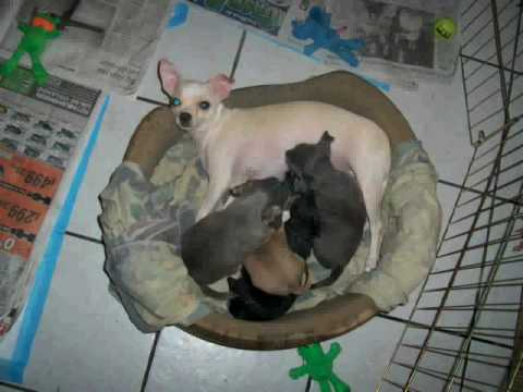 Chihuahua Litter Of Puppies From Birth To 8 Weeks Old Youtube