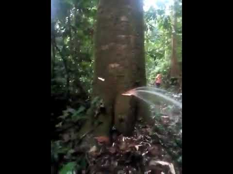 In Buea, Southern Cameroons capital, fresh clean water flows out of a tree in a forest