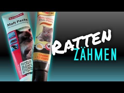 Ratten zähmen leicht gemacht!