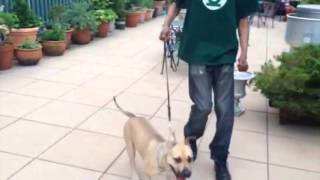 Nyc Dog Training: Out Of Control On Leash Pitbull To More Relaxed In Minutes (dctk9)