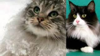 Популярные породы кошек и их цены.
