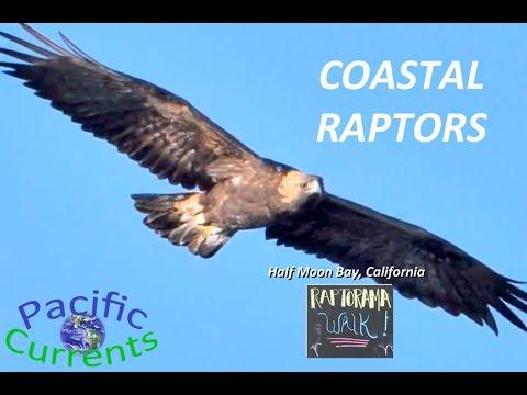 Coastal Raptors - Birds Of Prey Near San Francisco