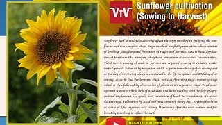 How to cultivate sunflower