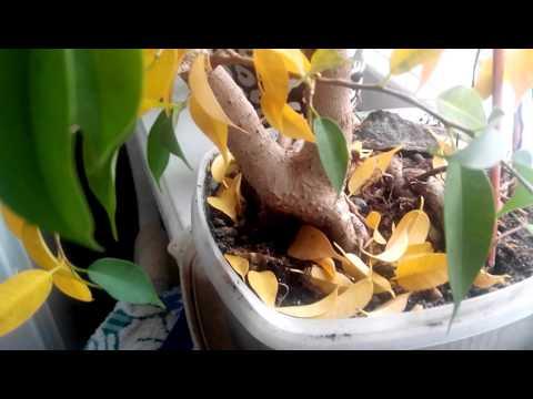 Бонсай Фикус бенджамина. Желтые листья после пересадки