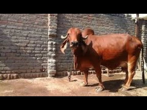 Gir cow pure breed and 22 litre milking capacity t
