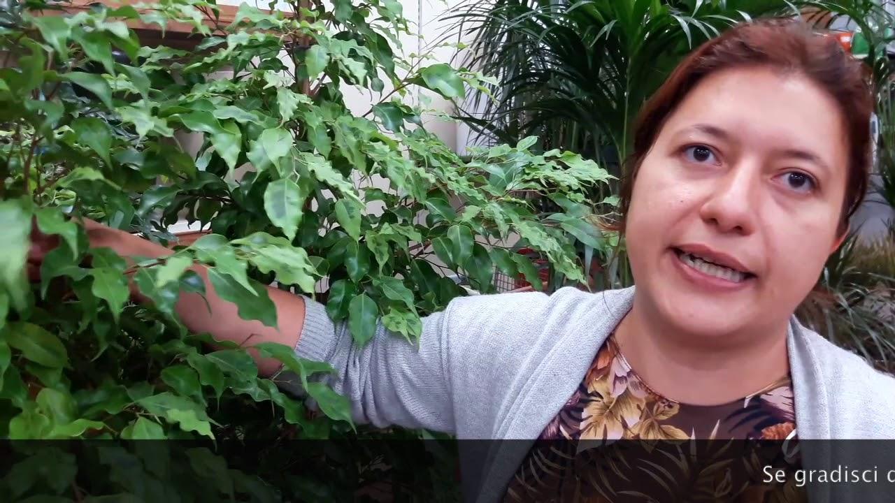 Ficus Benjamin Perde Foglie piante da interno: consigli pratici su come coltivare il ficus benjamin