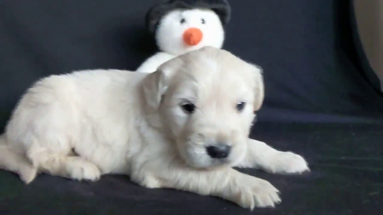 Dasher White Golden Retriever Puppies For Sale Youtube