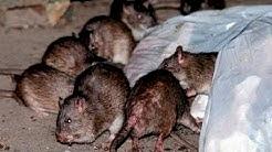 Philadelphia leads nation in rodent infestation
