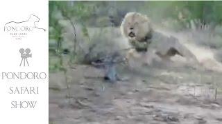 Kruger Park lion charge