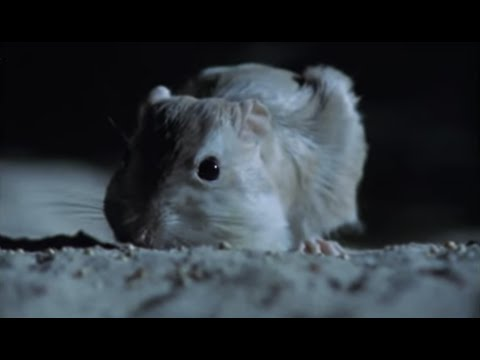 Aggressive nightlife of the Kangaroo Rat | Attenborough |  BBC