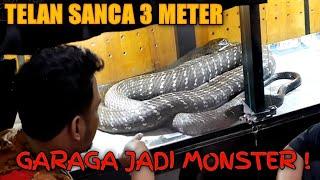 PASCA MAKAN PYTHON 3 METER KING COBRA GARAGA JADI GEDE BANGET !