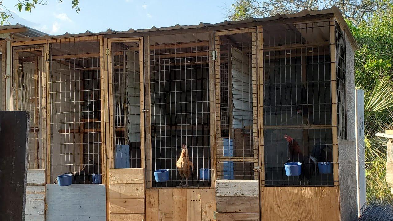 Pollitos mostrando las gallinas y nuevos voladeros