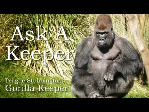 Ask A Keeper - Gorillas