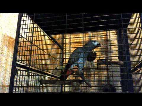 African grey parrot  talking Greek