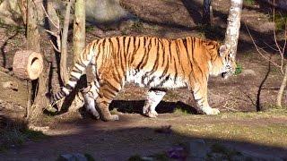 Tiger Taiga im Leipziger Zoo