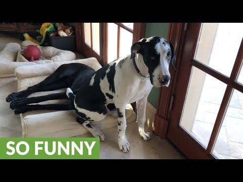 Puppy sits on top of Great Dane's head