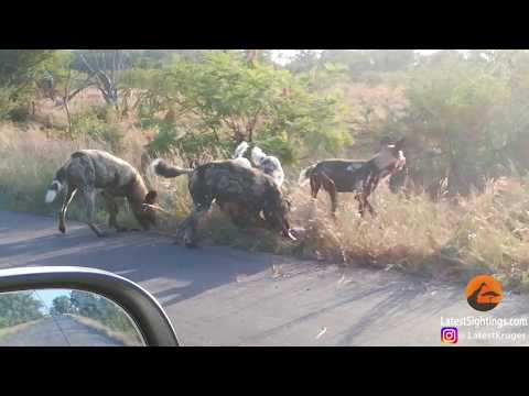 Wild dogs and hyenas in food tug of war in Kruger