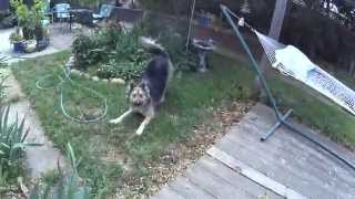 German Shepherd Siberian Husky Mix Funny Surprise