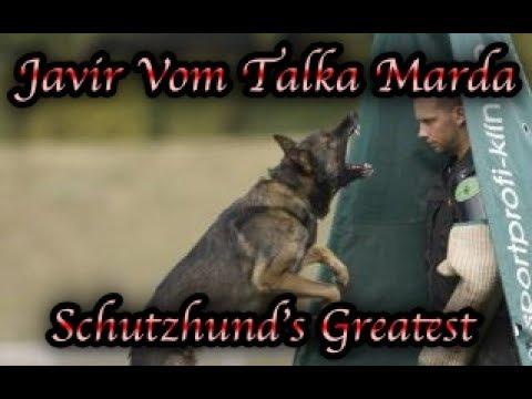 Schutzhunds Greatest Dogs *Javir vom Talka Marda*