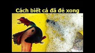 Cách nhận biết cá đẻ rồi hay chưa?! ✔️ BETTA COFFY 🐠 094.3300.365