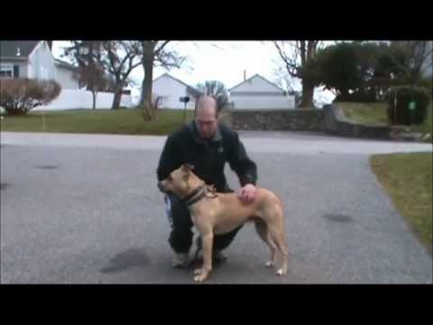 Tiger is a male lab/pit bull mix up for adoption at The Putnam Humane Society. Dog trainer Steve Reid has been working with Tiger with great results.