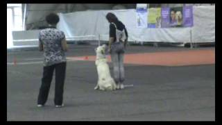 Central Asian Shepherd Dog- Obedience 2 Competitions