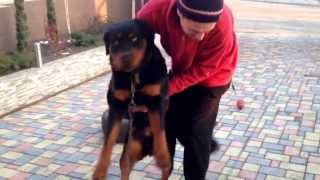 How To Weigh A 42kg Or 93lbs Rottweiler Pup 10 Months Old