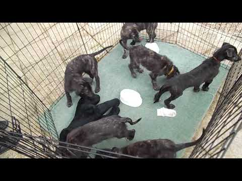 Deerhound x Lurcher Pups