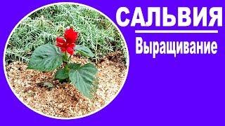 видео Флокс многолетний: нюансы выращивания из семян, посадки и ухода