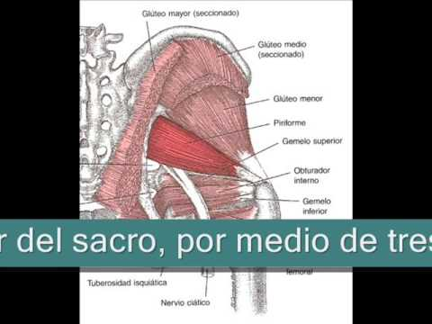 Musculos de la cadera Plano profundo2 0 - YouTube