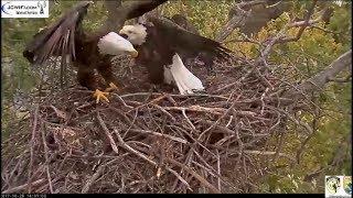 Trio Eagle Nest Cam Stewards UMRR ~ New Female & Another Intruder Eagle? 10.28.17