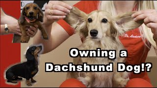 Owning a Dachshund? | The Weiner Dog