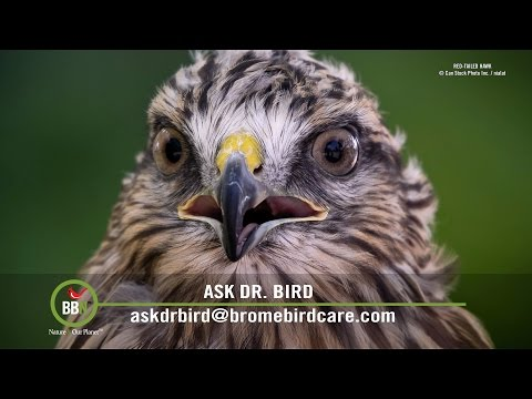 BBN 151   Missouri, Hawks Eating Grass and Different Foods in your Feeder part 2