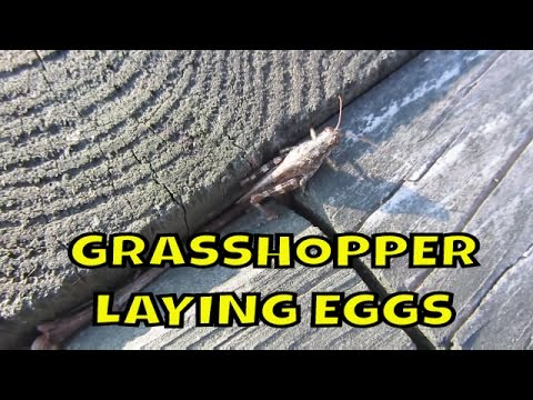 Grasshopper Laying eggs in Landscaping Timber