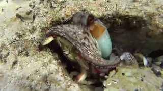 охота осьминога на краба
