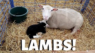 The first days of lambing.: Vlog 189